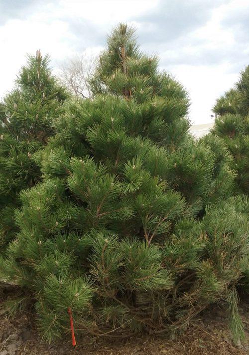 austrian-pine-4-2016-1
