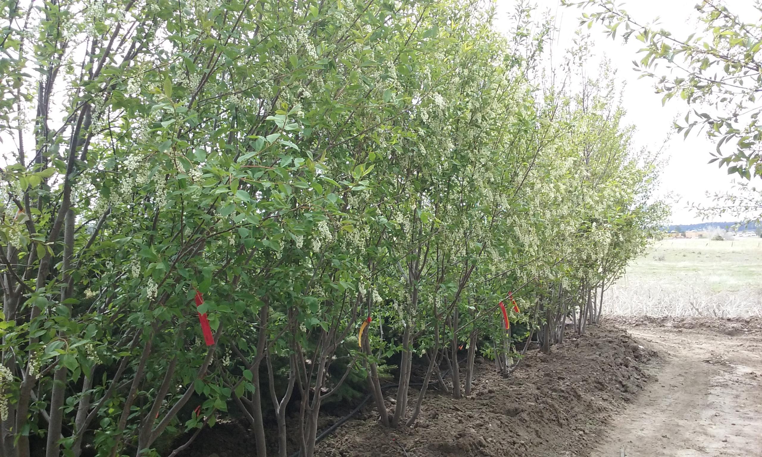 Canada Red Cherry Clump 5-2015 (2)