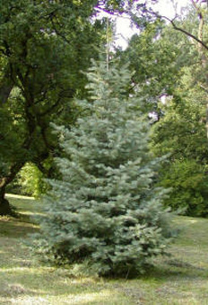 Concolor white fir